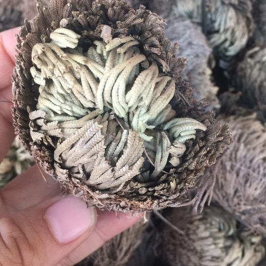 玉林 卷柏还魂草药材批发