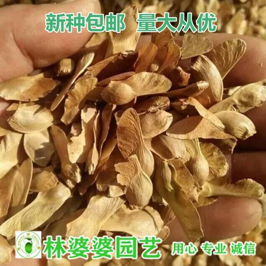 宿迁沭阳县 五角枫种子包邮