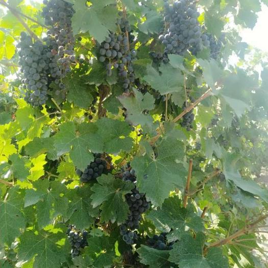 石河子市赤霞珠葡萄 0.4-0.6斤 5%以下 1次果