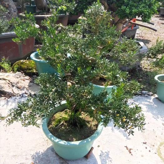 揭陽普寧市 雀舌黃楊盆景 高60公分 四季常青 凈化空氣綠植