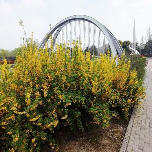 沭陽縣 庭院綠化苗木攀緣花卉連翹花連翹苗東北連翹黃花條黃金條樹苗
