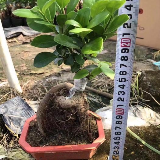 揭阳普宁市 人参榕小红盆20公分~30公分高净化空气绿植根系壮好造型