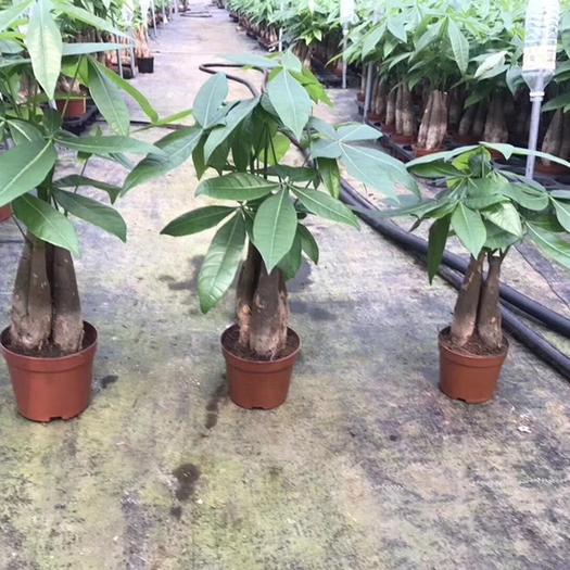 揭陽普寧市 三桿發財樹盆栽單桿 雙桿盆栽高25公分 桌面小綠植易成活