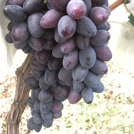 大荔县紫藤葡萄 5%以下 1次果 1斤到2斤