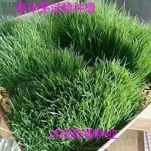 宿迁沭阳县高羊茅种子 冷季型草坪猎狗系列耐寒耐踩踏