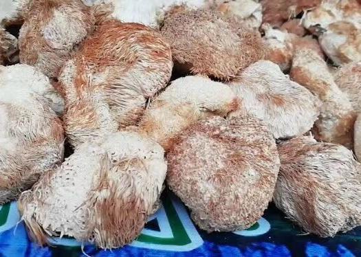 广东省广州市白云区 干猴头菇,营养价值高,四大名菜之一!