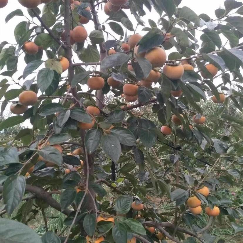 山西阳丰脆甜柿子(一件代发)