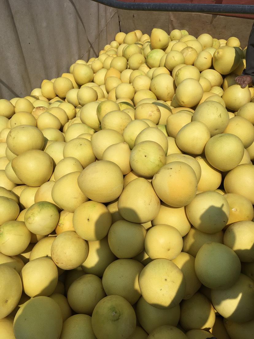 沙田柚 2斤以上