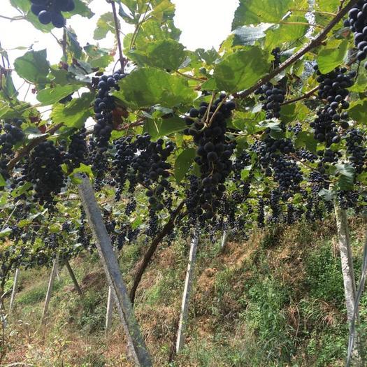 中方县刺葡萄 0.8-1斤 5%以下 1次果