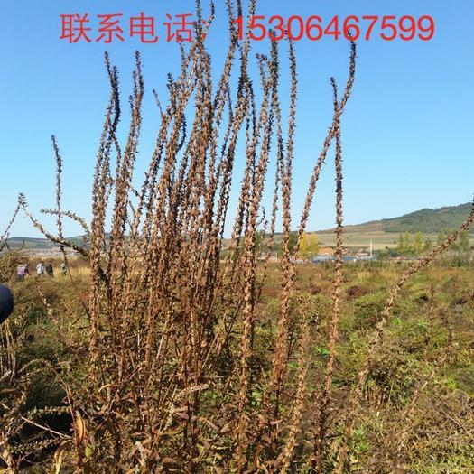 延边朝鲜安图县千屈菜种子