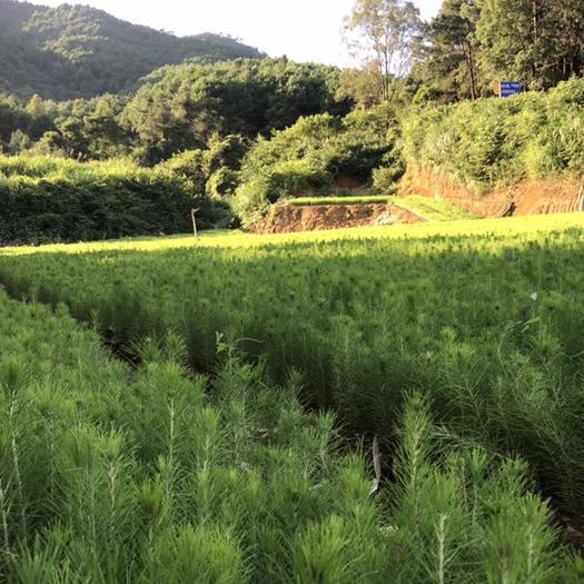 乐昌市湿地松树苗 湿地松苍劲而速生,适应性强,材质好,油脂产量高,是园林,造林