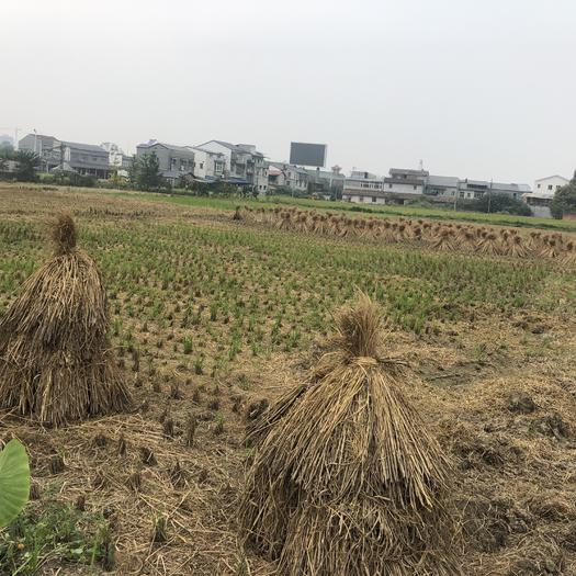 四川省德阳市罗江区 水田出租100亩,500一亩