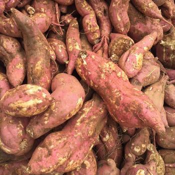 春红薯 淀粉薯