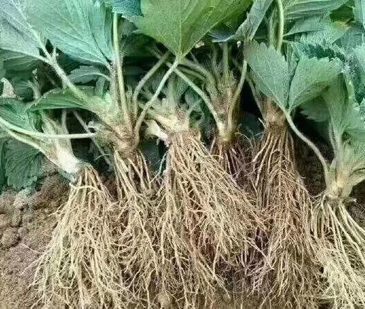 泰安 甜查理草莓苗,价格优惠,保温箱发货,质量保证,根系发达