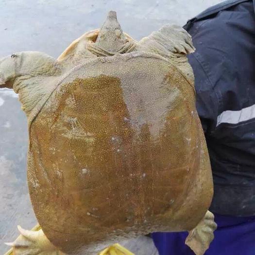 杭州萧山区 2.5斤外塘青黄色甲鱼水鱼王八