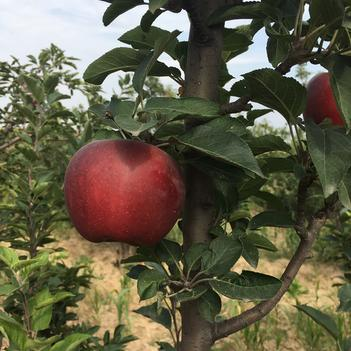 新红星苹果,鲜果新上,糖心,口感俱佳