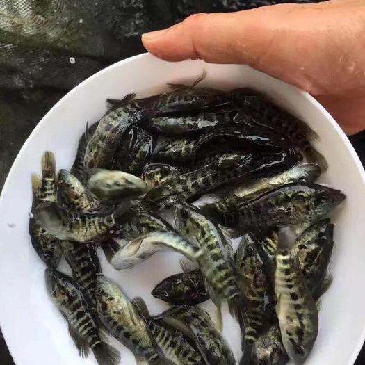 广东省惠州市博罗县淡水石斑 人工养殖 0.5公斤以下