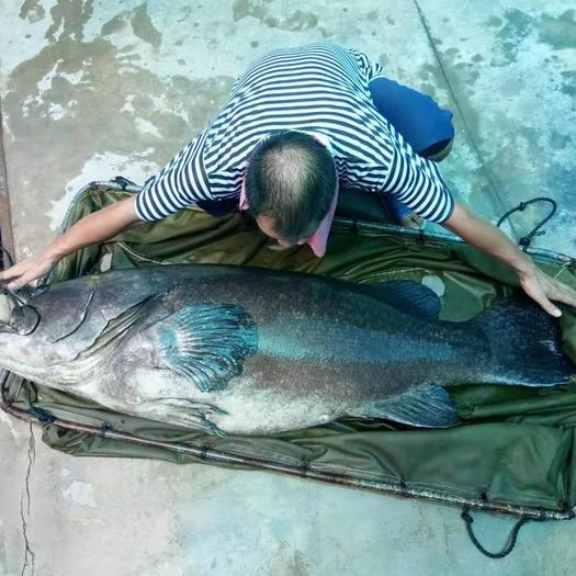 广东省佛山市南海区 巨型活体龙趸石斑鱼