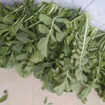 萝卜菜(萝卜缨)绿色无农药