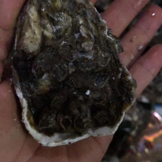 广东省潮州市饶平县广州生蚝 汫洲生蚝环境好无污染,所以养出来的好粥特别甜