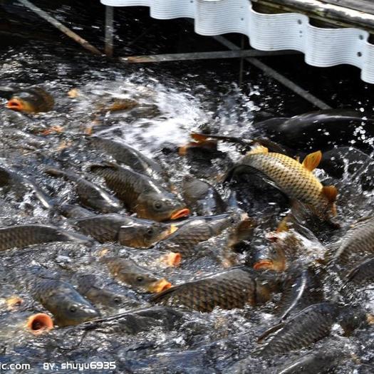 四川省乐山市犍为县池塘鲤鱼 1-1.5公斤 人工养殖