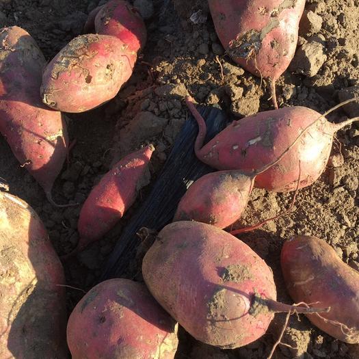 辽宁省锦州市黑山县早丰红薯 混装通货 红皮