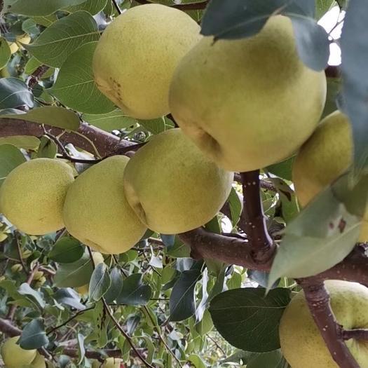 北京市顺义区 山里辛庄酥梨,皮薄多汁自家果园,上门批发
