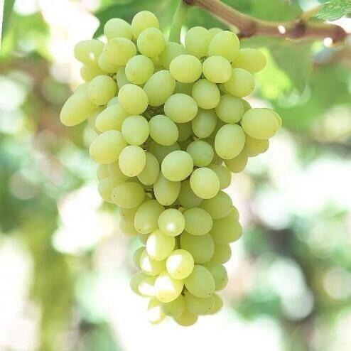 枣庄 【特价包邮】新疆吐鲁番无核白葡萄新鲜水果提子无籽新鲜葡萄