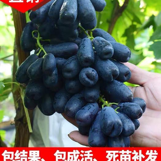平邑县 甜蜜蓝宝石葡萄苗 当年结果 品种纯正 包成活 可签合同
