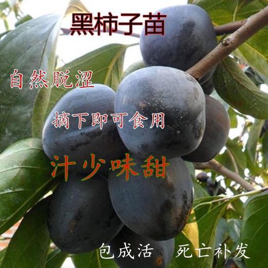 临沂平邑县 黑柿树苗 嫁接柿子苗 自然脱涩 摘下就吃 基地直供 品种保证