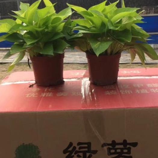 廣州花都區青葉吊蘭 110#綠蘿