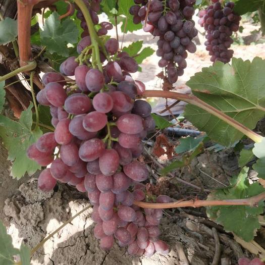 乌鲁木齐 新疆克瑞森葡萄熟了……甜得很,需要的联系我了