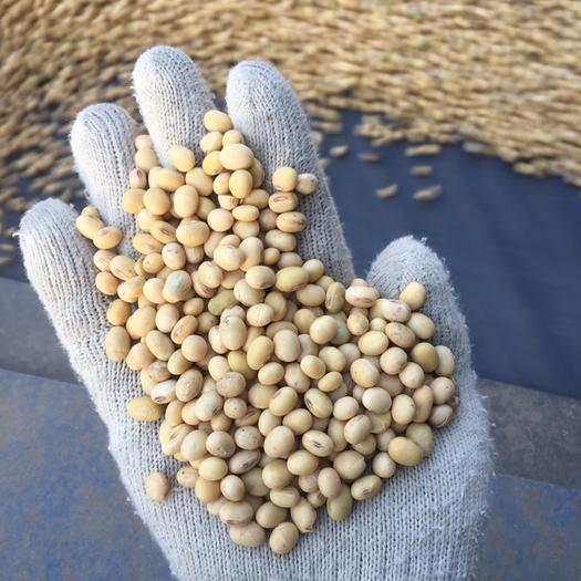 蚌埠五河县 安徽比重精选大豆