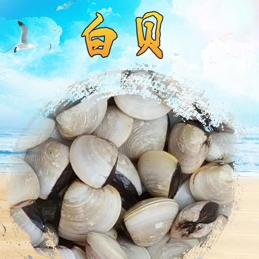 湛江霞山區 湛江鮮活貝類 白貝 網紅卜卜貝  湛江白蛤螺鮮活貝