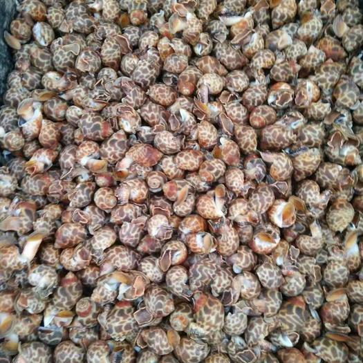 北京市朝阳区 巴基斯坦正关熟冻花螺50/80.80/120,品质保证。