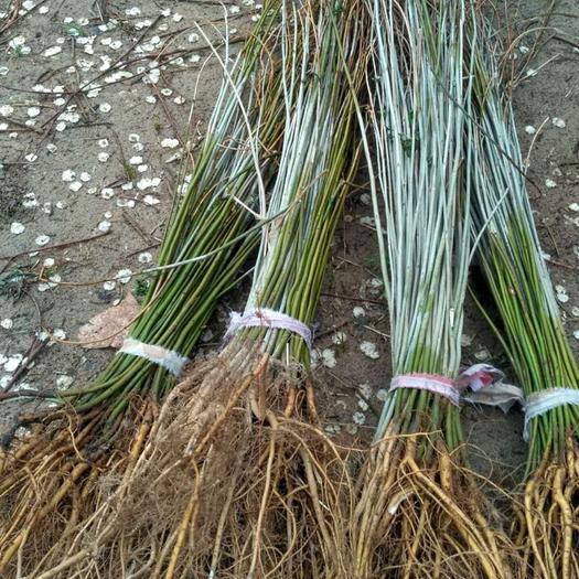 民权县紫穗槐苗 0.4-0.6护坡绿化种苗紫穗槐