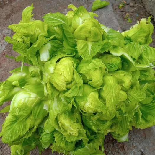 安徽省宿州市砀山县 儿菜,品种纯正优良品质保证价格美丽