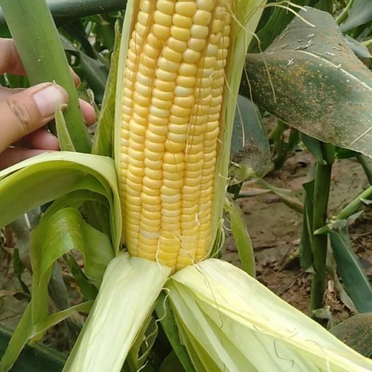 安徽省亳州市谯城区甜玉米 自家保地种的水果玉米 现在开始上市了