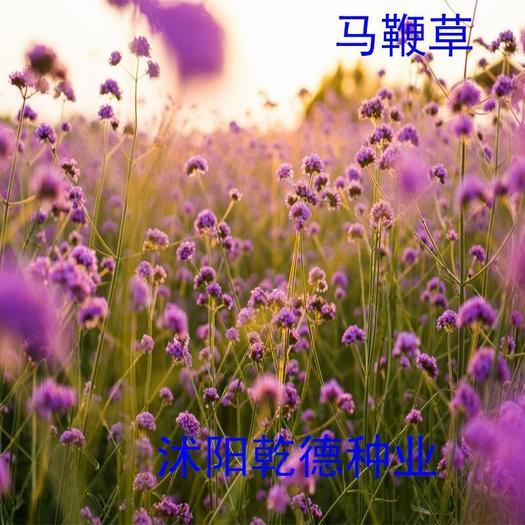 宿迁沭阳县马鞭草种子 柳叶马鞭草花期长颜色漂亮好种植