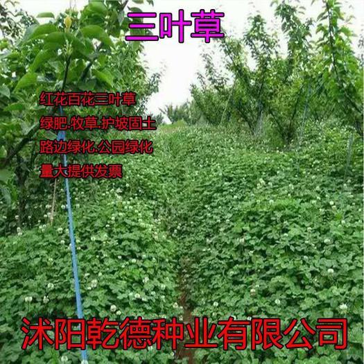 宿迁沭阳县三叶草种子 三叶草包衣种子,优质果园绿肥种子草坪种子