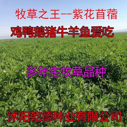 宿迁沭阳县苜蓿草种子 苜蓿草鸡鸭鹅猪马牛羊兔子等等动物爱吃