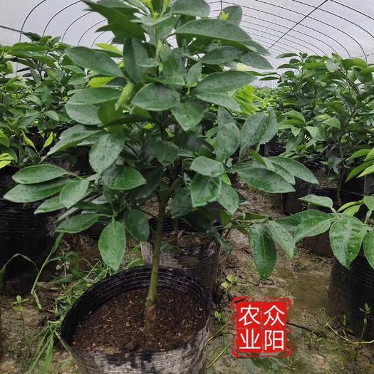 台州红美人爱嫒28号 红美人爱暖28号营养杯苗