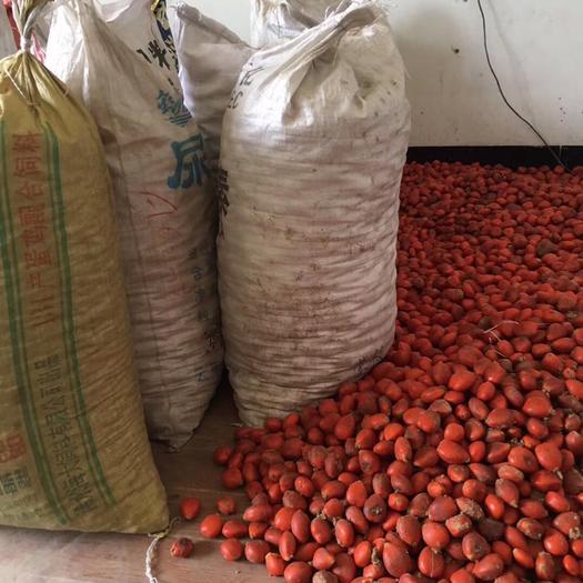龍巖漳平市 蘇鐵種子