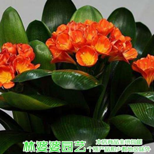沭阳县 君子兰种子
