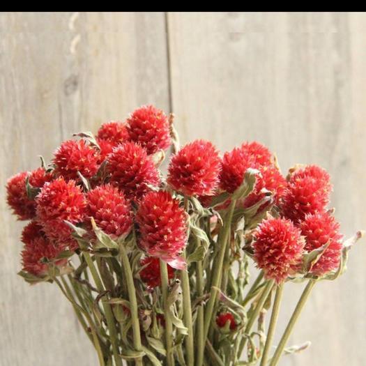 长治潞州区 千日红种子