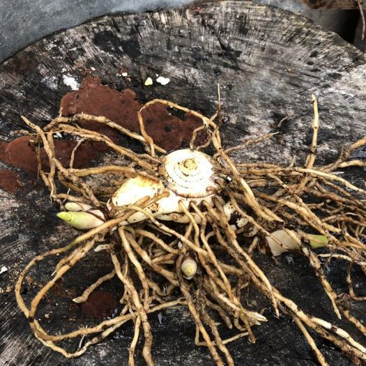 宜昌白芨种子 紫花三叉全芽白芨种