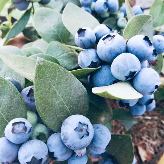 昆明西山區 云南露天 二季果反季果 【綠寶石】純脆藍莓大果