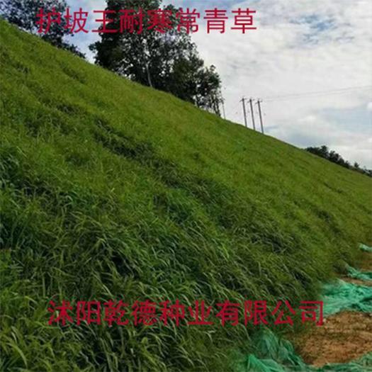 宿迁沭阳县护坡草种子 高羊茅护坡绿化品种耐寒性草坪包衣种子
