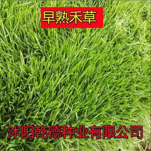 宿迁沭阳县早熟禾种子 早熟禾冷季型草坪耐寒漂亮耐踩踏四季种植