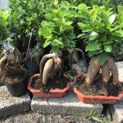 龍海市 人參榕樹盆景